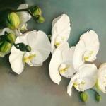 Phalaenopsis in White